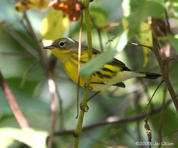Magnolia Warbler at Sweet Marsh, Bremer Co.  09-20-08