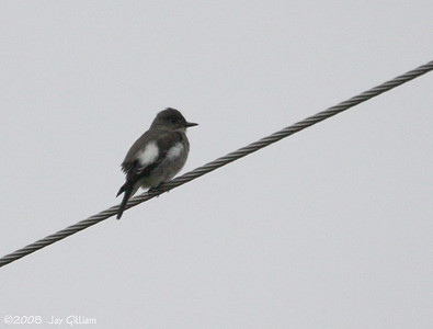 Olive-sided Flycatcher in Wright Co.  09-12-08