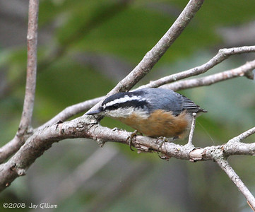 Red-breasted Nuthatch at Red Rock  09-21-08
