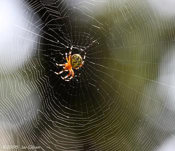 Garden Spider at Red Rock  09-21-08