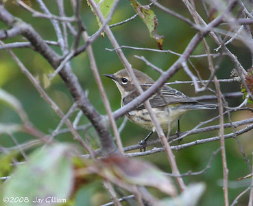 My first Yellow-rumped Warbler of the season in Bremer Co.  09-20-08