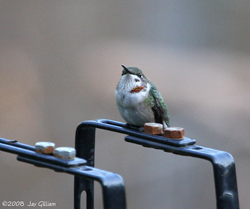 Young male Ruby-throated Hummingbird in my backyard  09-19-08