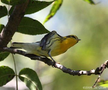 Blackburnian Warbler at Walnut Woods  09-07-08