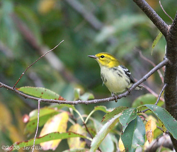 Black-throated Green Warbler at Red Rock  09-21-08