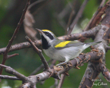 Golden-winged Warbler at Cherry Glen Picnic Area, Saylorville Reservoir, Polk Co.  1 September 2010