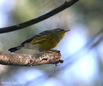 Magnolia Warbler at Jester Park, Polk Co.  11 September 2010