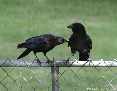 Crow couple in my backyard