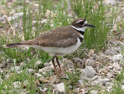 Killdeer next to nest