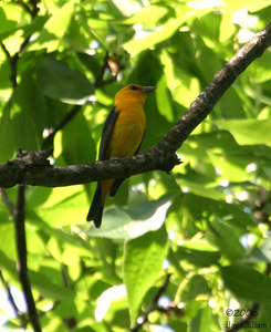 """Orange"" Scarlet Tanager"