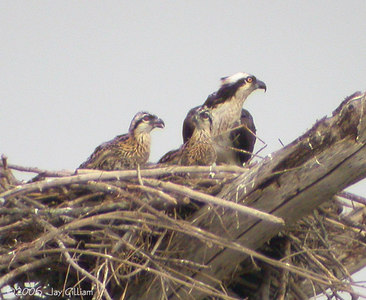 Osprey nestlings at Jester Park