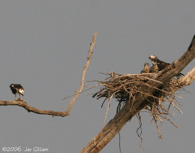 Osprey nestlings waiting for a meal
