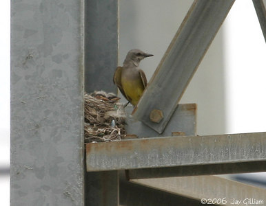 A different Western Kingbird at nest