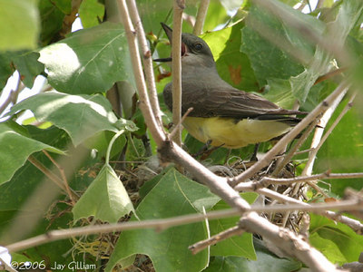 Western Kingbird on nest