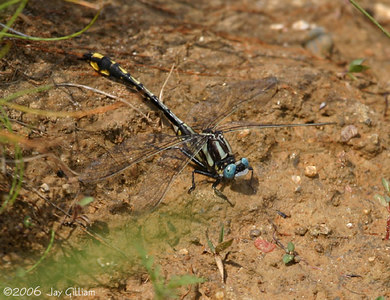 Pronghorn Clubtail