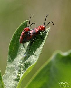 Bug porn- Milkweed Bugs