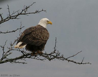 Bald Eagle at Saylorville Lake  03-05-06