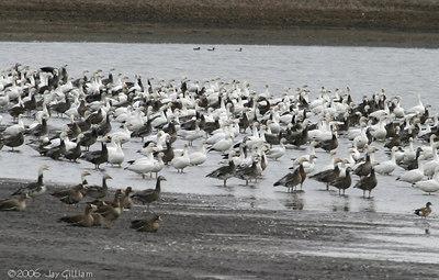 Geese at Diehl Ponds  03-11-06
