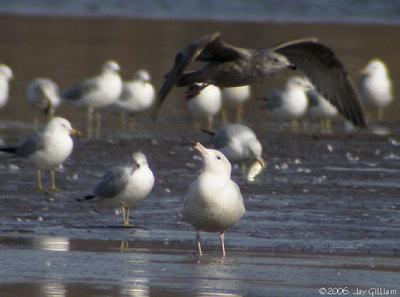 Glaucous Gull in Quad Cities  03-04-06
