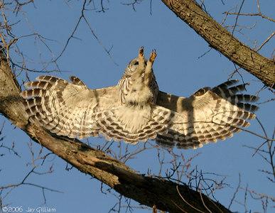 Barred Owl  03-17-06