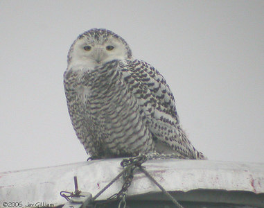 Immature female Snowy Owl in Hamilton Co  03-05-06