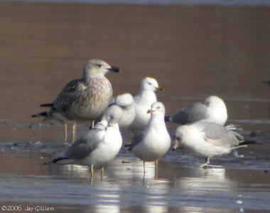 Great Black-backed Gull in Quad Cities  03-04-06