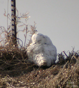 Mature male Snowy Owl in Hamilton Co. 03-11-06