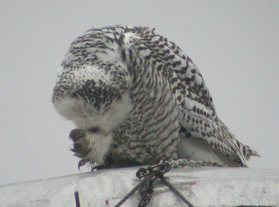 Immature female Snowy Owl in Hamilton Co  03-05-06