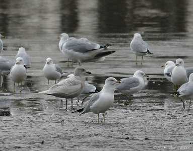 Iceland Gull in Quad Cities  03-04-06