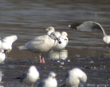 Glaucous Gull  03-04-06