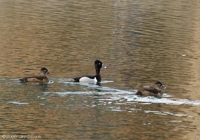 Ring-necked Ducks  03-10-06