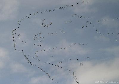 Snow Geese  03-11-06