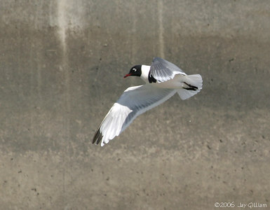 Franklin's Gull at Saylorville Dam  03-17-06