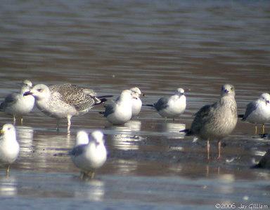 Great Black-backed Gulls  03-04-06