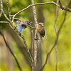 Lola, the Eastern Bluebird female is looked away before feeding her hungry toddler.  He's getting impatient!