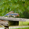The immature Eastern Bluebird is tired of waiting for his food!