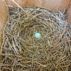 Eastern Bluebird Nest Egg