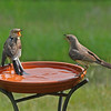 Momma Leona, the Northern Mockingbird, is having a discussion with her toddler, Theo.