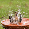 Leona, the Northern Mockingbird, taking a serious bath.