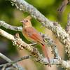 Northern Cardinal (Immature)