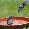 Eastern Bluebirds enjoying the pool at Le Rural Day Spa