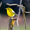 Pine Warbler (Male)