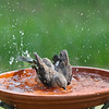 Leona, the Northern Mockingbird, is serious about bath time.