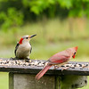 Peanotta, the Red-bellied Woodpecker enjoying lunch at Le Avian Cafe with the Duchess of Soperton, the Northern Cardinal.