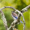 Eastern Bluebird (Immature)