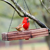Carolina Wren in the foreground and Northern Cardinal (Male) in the background
