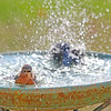 Lana, our female Eastern Bluebird, can't believe that Leonardo, our male Eastern Bluebird, is splashing all of the water out of the pool.
