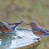 Leonardo and Lana, our male and female Eastern Bluebirds, enjoy vacationing at Le Rural Spa in the Georgia countryside.<br /> If you want to attract more birds, always have a birdbath.  Birds enjoying drinking water and having a place to take a bath!
