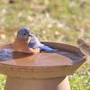 Leonardo, our male Eastern Bluebird, enjoys a conversation at the pool with Chip, the Chipping Sparrow.  If you want to create a birdbath on a budget, purchase a clay pot and clay water catcher.  Turn the clay pot upside down and glue it to the clay water catcher.  Instant birdbath and the birds love it.  Birdbaths should be no deeper than two inches.