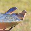 Our male and female Eastern Bluebirds, Lorenzo and Lola, relaxing at Le Rural Spa in the Georgia countryside.<br /> Male is in the background with the more vibrant shade of blue.  The female is more grayish-blue in color.
