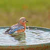 Lola, our female Eastern Bluebird, is catching the sun's rays while relaxing in the pool.